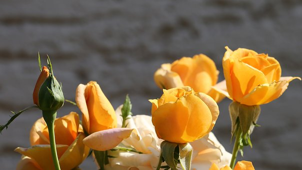 Orange Roses, Flower, Spring, Bloom, Romantic, Petals