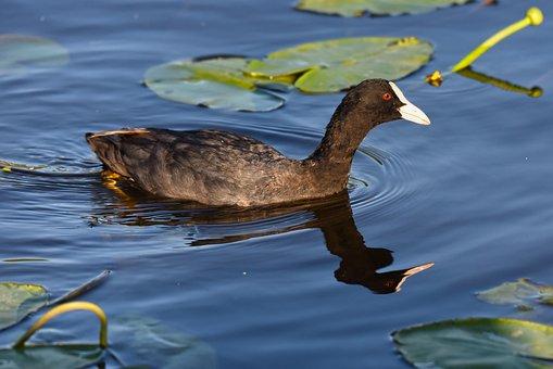 Coot, Bird, Water Bird, Animal, Swimming, Water, River