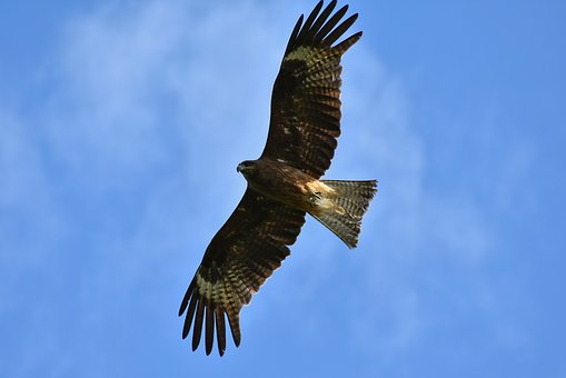 Animal, Sky, Bird, Wild Birds, Raptor, Video, Wings