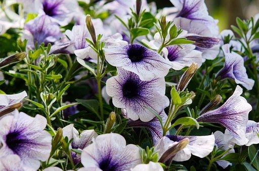 Flowers, Surfinie, Potted, Summer, Violet