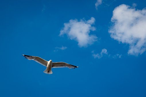 Gull, Bird, Sky, Fly, Birds, Water Bird, Animal, Clouds