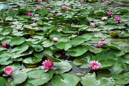 Flowers, Water Lilies, Pond, Pink, Summer, Foliage