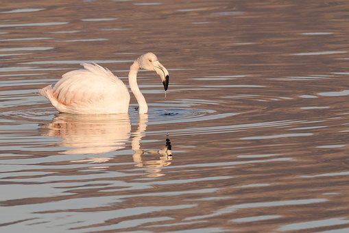 Flamingo, Swan, Bird, Water, Lake, White, Nature