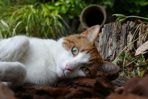 Cat, Pet, Mammal, Relax, Red, White
