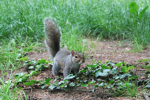 Squirrel, Animal, Nature, Rodent, Hairy, Wild, Creature