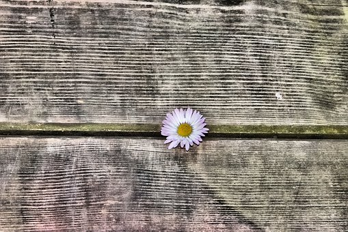 Daisy, Wood, Deco, Flowers, M P, Pink, White, Flower