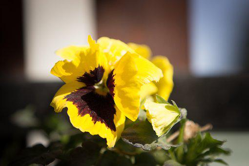 Viola Tricolor, Flower, Garden, Pets, Yellow, Summer