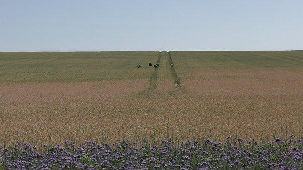 Field, Cornfield, Agriculture, Barley Field, Rheas