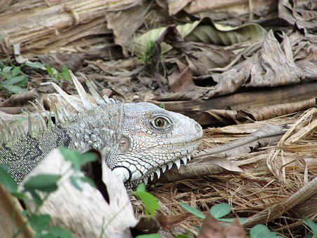 Animal, Animals, Wild, Iguana, Lizard, Reptile