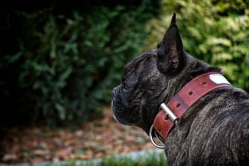 Wallpaper, French Bulldog, Dog, Animal, Pet, Breed