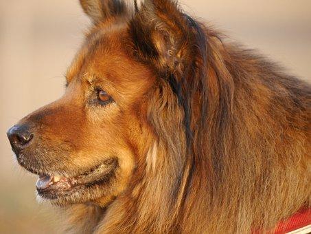 Chow Chow, Australian Shepherd, Hybrid, Dog, Pet