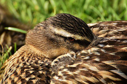 Mallard, Vigilant, Close Up, Duck, Bird, Nature