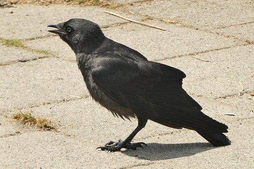 Crow, Feathers, Bird, Feather, Dark, Black, Beak