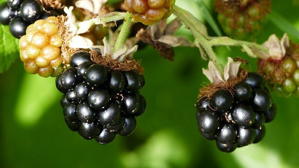 Nature, Garden, Fruits, Blackberries, Ripe, Black