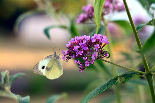 Buddleja Davidii, Blossom, Bloom, Garden, Butterfly