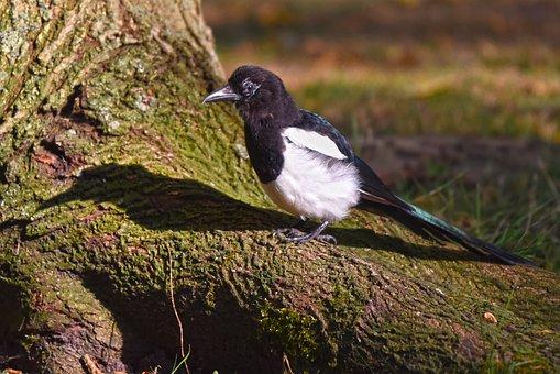 Common Magpie, Bird, Corvidae, Wildlife, Feather