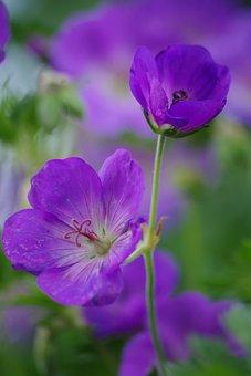 Cranesbill, Flower, Garden, Nature, Plant, Blossom