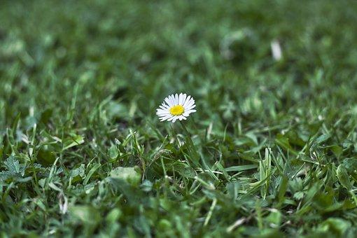 Daisy, Grass, Green, Petals, Flower