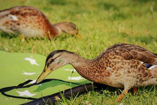 Duck, Water Bird, Duck Bird, Mallard, Blanket, Meadow
