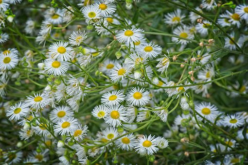 Fine Jet, Flowers, Occupation Herb White, Fleabane