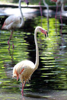 Flamingo, Bird, Pink Flamingo, Phoenicopterus Roseus