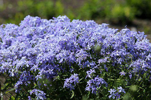 Flowers, Blue Flowers, Flower Bed, Blue, Green, Plant