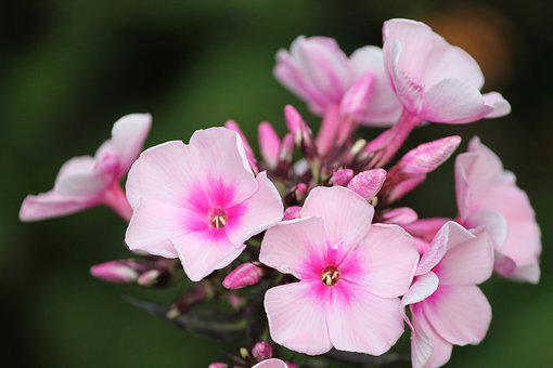 Phlox, Flame Flower, Flower, Pink, Flower Garden