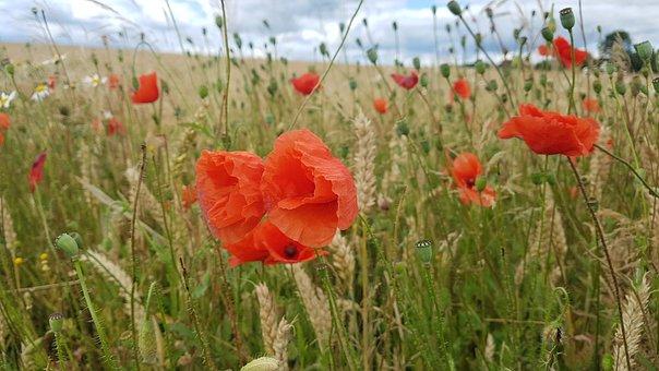 Summer, Poppy, Flower, Nature, Red, Blossom, Bloom