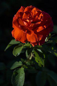 Rose, Red, Flower, Blossom, Bloom, Plant, Nature