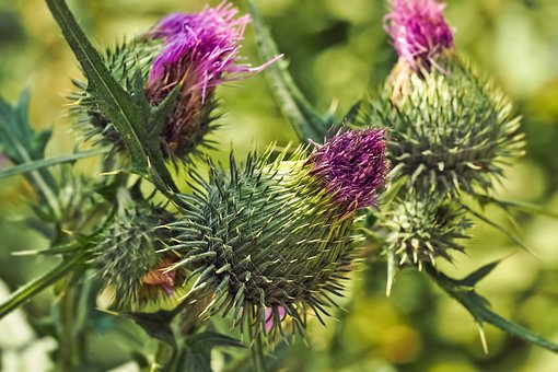 Thistles, Flowers, Nature, Summer, Plant, Blossom