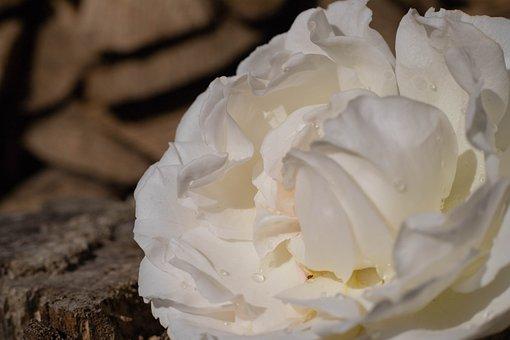Rose, Roses, White, Macro, Flower, Flowers, Romantic