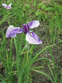 Iris, Garden, Flower, Spring, Bloom, Violet, Blue