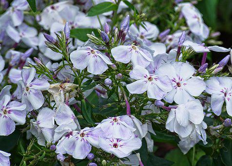Phlox, Flame Flowers, Lock-up Herb Plants, Garden Plant