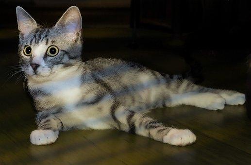 Cat, Domestic Cat, Pet, Animal, Kitten, Cat's Eyes