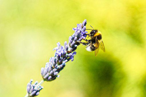 Bee, Lavender, Meadow, Insect, Grass