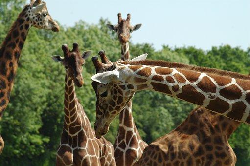 Giraffe, Nature, Wildlife, Tallest, Neck, Long, Mammal