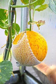 Melon, Harvest, Ripe, Sweet, Healthy, Garden, Nutrition