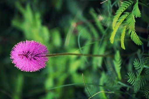 Sensitive Plant, Flower, Plant, Sensitive, Nature