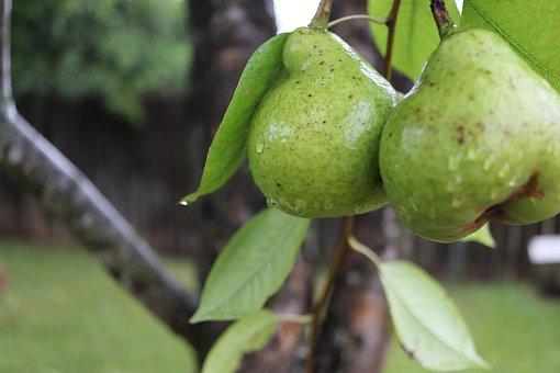 Fruit, Nature, Food, Leaf, Tree, Flora, Agriculture
