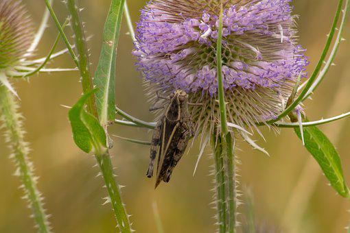 Insect, Grasshoppers, Jumping Insects, Green, Nature