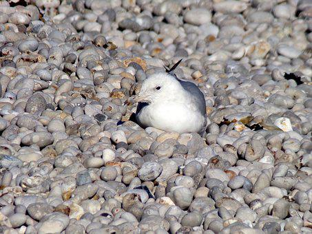 Gull, Beach, Sea, Sea Pebble, Side, Water, Nature