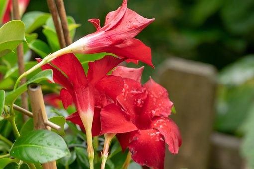 Red, Green, Nature, Flowers, Beautiful, Rain, Bloom