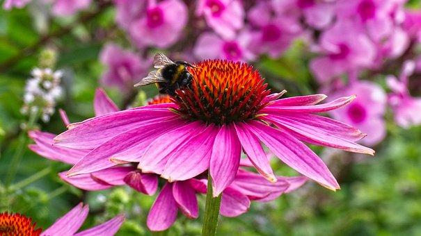 Coneflower, Echinacea, Flower, Nature, Summer, Plant