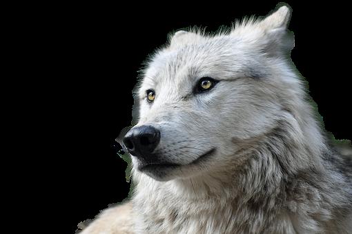 Wolf, Transparent, Animal, Nature, Animal World, Risk