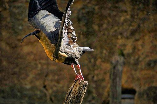 Ibis, Bird, Fauna, Wings, Wader, Ornithology, Tropical