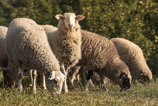 Lamb, Sheep, Graze, Pets, Pasture, Wool, Animal, Nature
