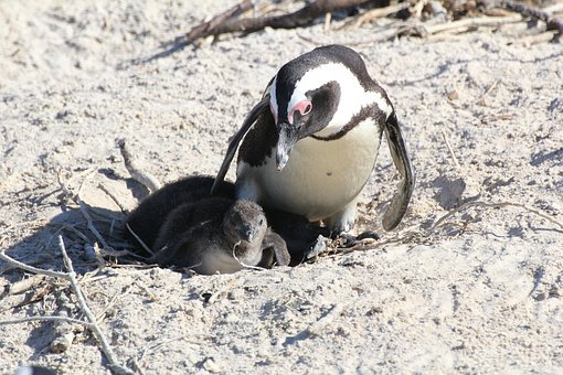 Penguin, Penguin Baby, South Africa, Cape Town