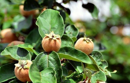 Quince, Fruits, Quittenbaum, Pome Fruit, Plant, Tree