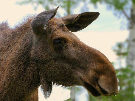 Momentum, Head, Portrait, Ears, Animal, Female, Mammal