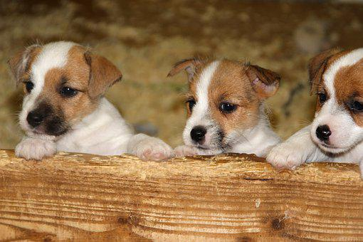 Dog, Pet, Baby, Jack Russell, Puppy